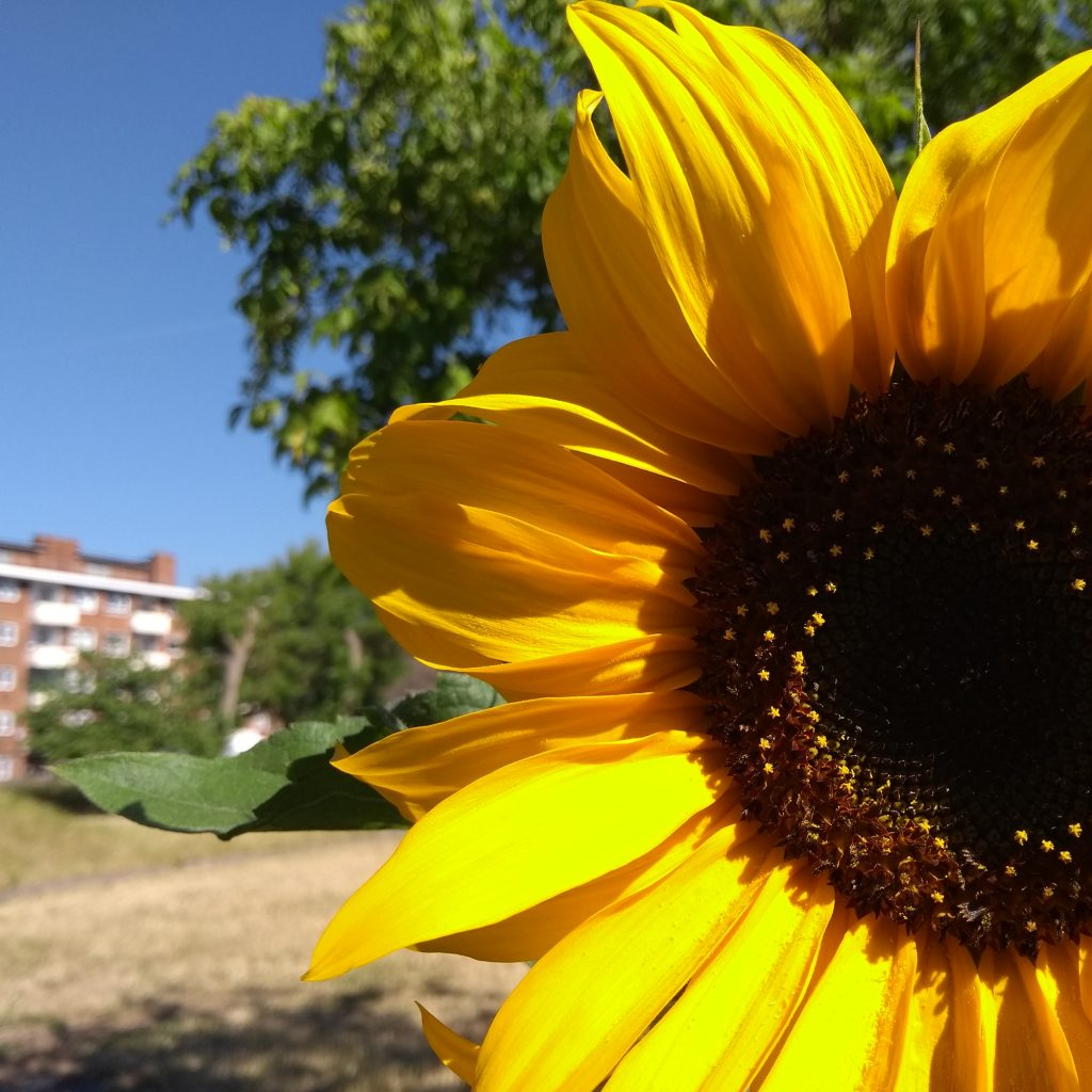 A Sunflower in the Albany garden with trees and a blue sky behind.