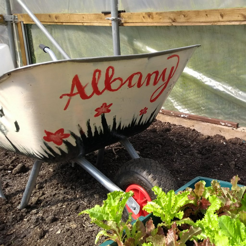 Wheelbarrow and lettuce's growing in the Albany poly-tunnel.