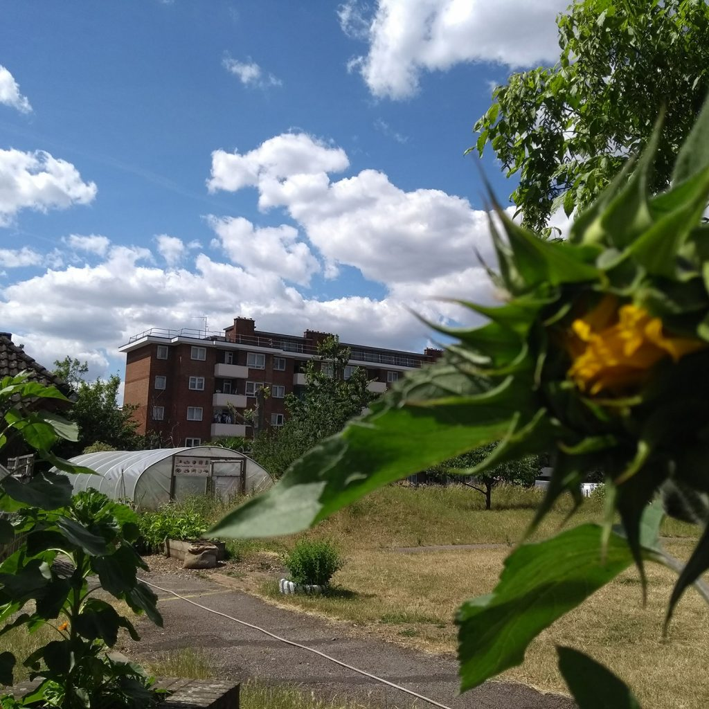 Sunflowers, grass, a pathway and the poly tunnel in the Albany garden.