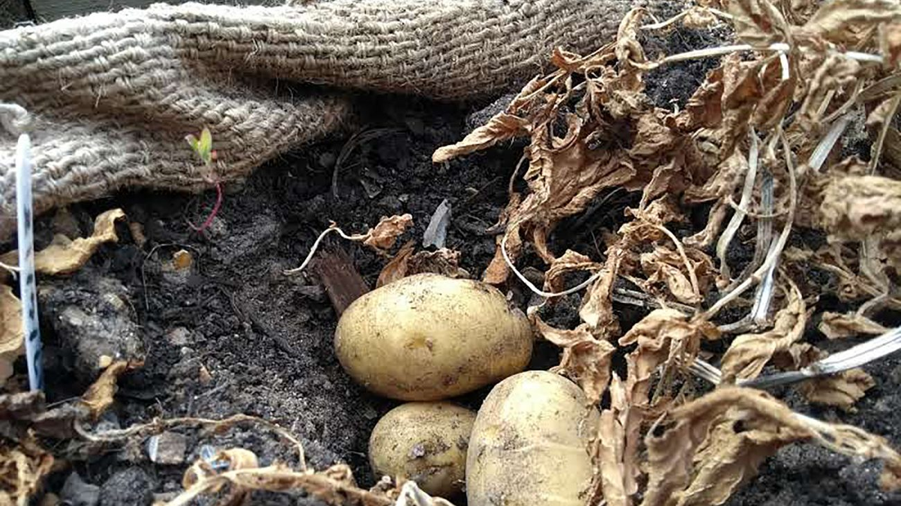 Potatoes ready for harvesting in the Albany poly tunnel.  Photography by Lucy Hall.