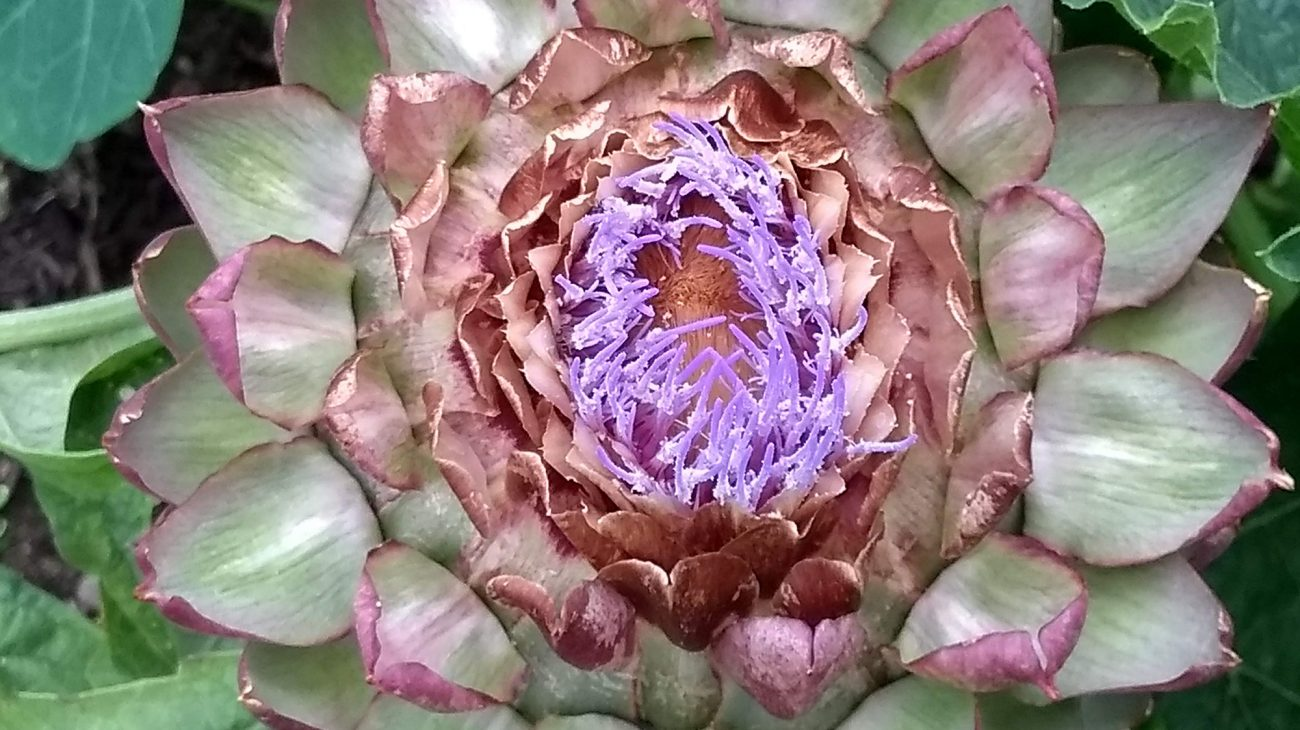 An artichoke growing in the Albany garden. Photography by Lucy Hall.