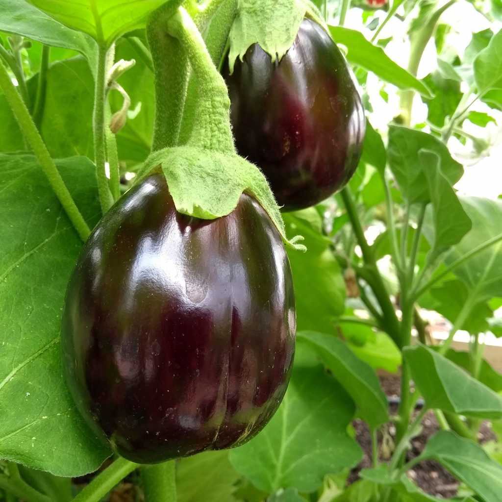 Aubergine hanging down from a stalk, growing in the Albany poly tunnel.