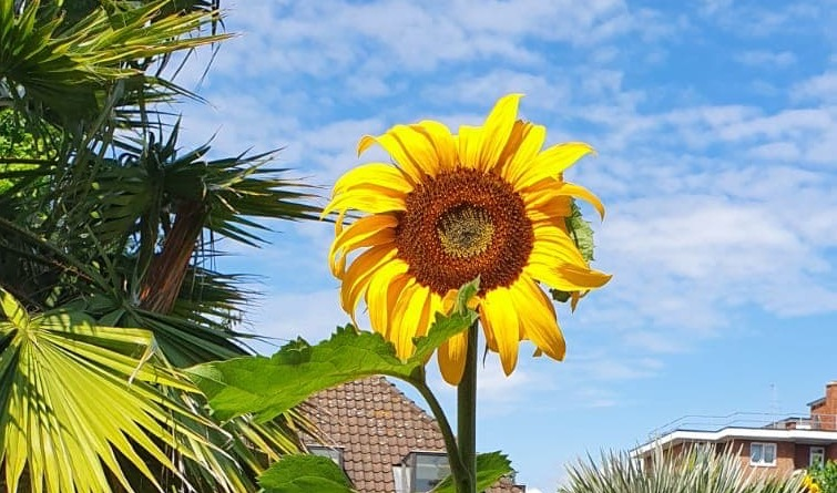 Grow Your Own… Sunflowers